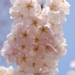 Sakura 2011 -1- [BoPoMoFo Photograph]