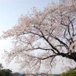 Sakura 2011 -2- [BoPoMoFo Photograph]